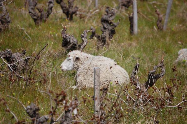 Châteauneuf-du-Pape - Mouton